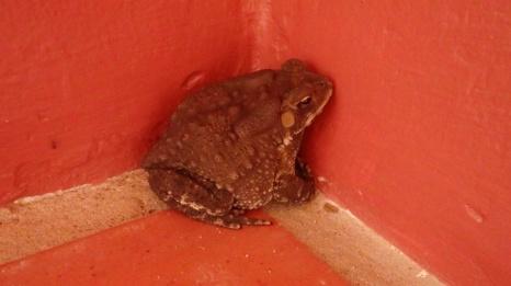 Padda eller frosken som bor på verandaen vår
