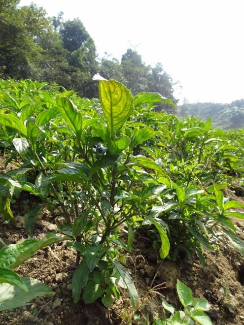 Indigo-plante som brukes til å farge klær