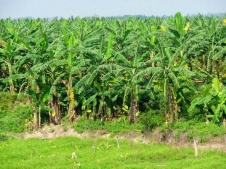 Banantrær nord for Hanoi