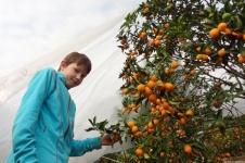 Trær med kumquat i Sør-Kina