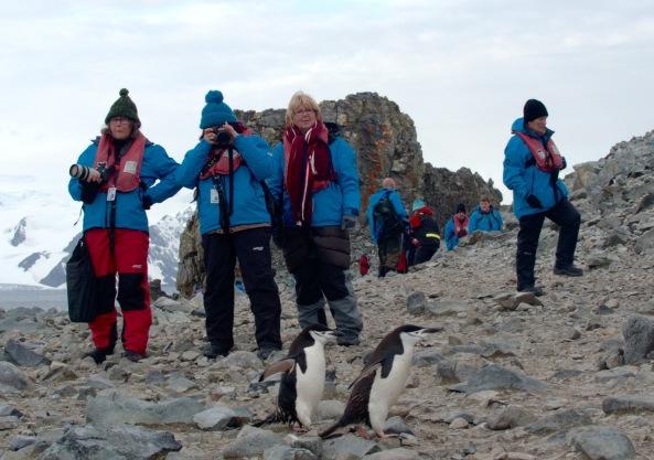 Ringpingviner på Half Moon Island
