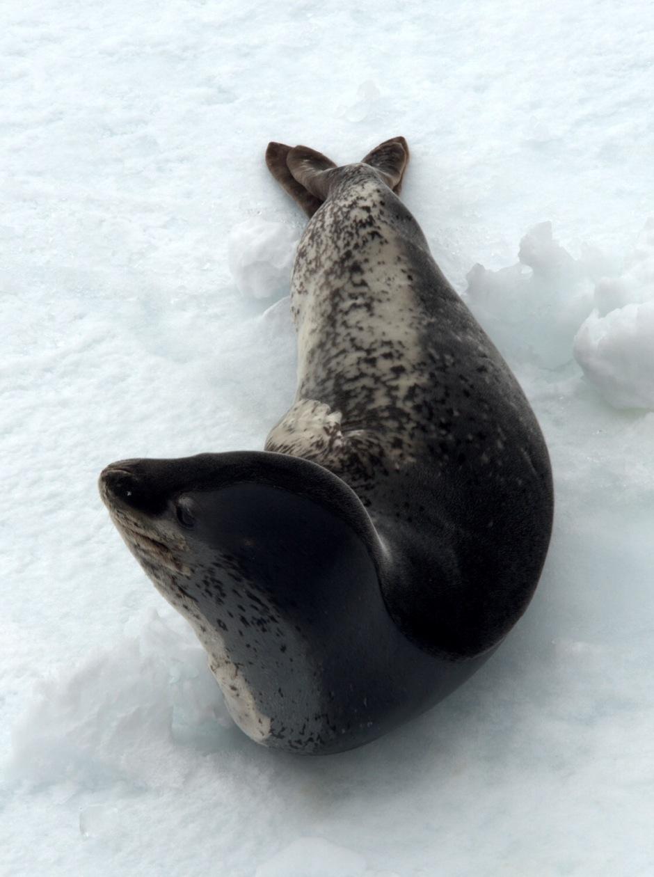 Leopardsel på isflak