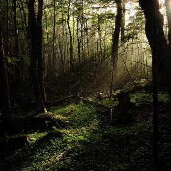 Gammel bjørkeskog