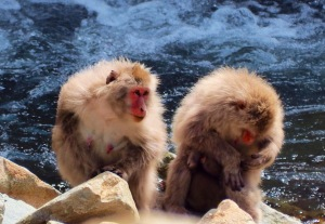 To voksne aper ved elva