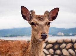 Sika-hjort
